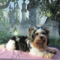 Foto 3 Bieweryorkshire-Terrier Deckrüde