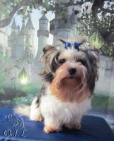 Foto 4 Bieweryorkshire-Terrier Deckrüde