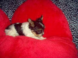 Foto 2 Bieweryorkshire Terrier  Welpen