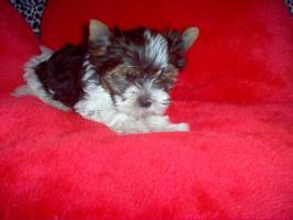 Bieweryorkshire Terrier  Welpen