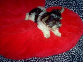 Foto 3 Bieweryorkshire Terrier  Welpen