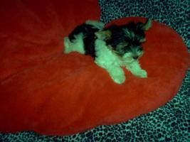 Foto 4 Bieweryorkshire Terrier  Welpen