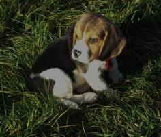 Bildhübsche Beagle Welpen