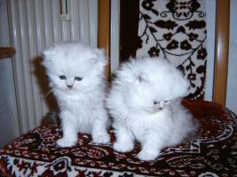 Foto 2 Bildh�bsche Kitten!!!