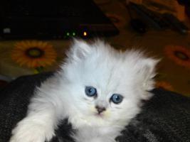Foto 4 Bildh�bsche Kitten!!!
