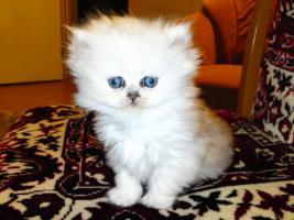 Foto 6 Bildh�bsche Kitten!!!