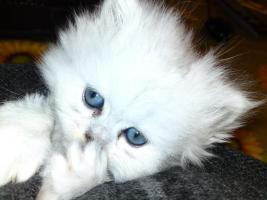 Foto 7 Bildh�bsche Kitten!!!