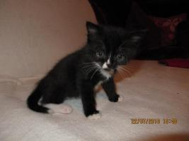 Foto 2 Bildhübsche Perser-BKH Kitten