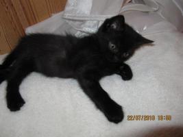 Foto 3 Bildhübsche Perser-BKH Kitten
