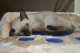 Bildh�bsche Siam Thai Kitten - Siamkatzen - ab sofort abzugeben!