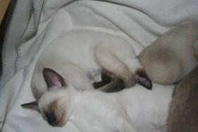 Foto 2 Bildh�bsche Siam Thai Kitten - Siamkatzen - ab sofort abzugeben!