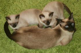 Foto 3 Bildh�bsche Siam Thai Kitten - Siamkatzen - ab sofort abzugeben!
