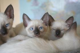 Bildh�bsche Siam Thai - Kitten abzugeben! Alter Typ!
