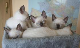 Foto 2 Bildhübsche Siam Thai - Kitten abzugeben! Alter Typ!