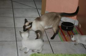 Foto 5 Bildhübsche Siam Thai - Kitten abzugeben! Alter Typ!