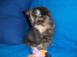 Bildhübsche reinrassige Perserbabys /Kitten (mit Nase) in Black Tortie / Schildpatt