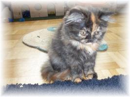Foto 2 Bildhübsche reinrassige Perserbabys /Kitten (mit Nase) in Black Tortie / Schildpatt