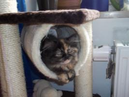 Foto 3 Bildhübsche reinrassige Perserbabys /Kitten (mit Nase) in Black Tortie / Schildpatt