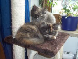 Foto 4 Bildhübsche reinrassige Perserbabys /Kitten (mit Nase) in Black Tortie / Schildpatt