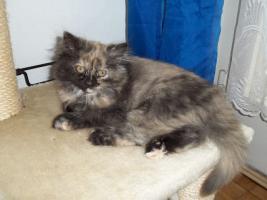 Foto 5 Bildhübsche reinrassige Perserbabys /Kitten (mit Nase) in Black Tortie / Schildpatt