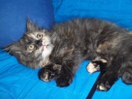 Foto 6 Bildhübsche reinrassige Perserbabys /Kitten (mit Nase) in Black Tortie / Schildpatt