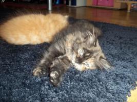 Foto 7 Bildhübsche reinrassige Perserbabys /Kitten (mit Nase) in Black Tortie / Schildpatt