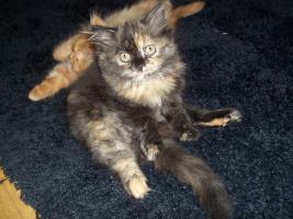 Foto 8 Bildhübsche reinrassige Perserbabys /Kitten (mit Nase) in Black Tortie / Schildpatt