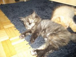 Foto 9 Bildhübsche reinrassige Perserbabys /Kitten (mit Nase) in Black Tortie / Schildpatt
