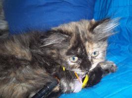 Foto 10 Bildhübsche reinrassige Perserbabys /Kitten (mit Nase) in Black Tortie / Schildpatt