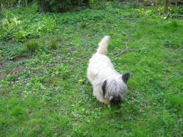 Foto 2 Bildhübsche, silberne Skye Terrier , ca 5 Jahre alt sucht liebevolle Familie