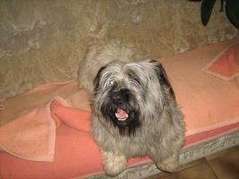 Foto 6 Bildhübsche, silberne Skye Terrier , ca 5 Jahre alt sucht liebevolle Familie