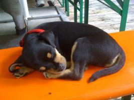 Bildhübscher Chihuahua-Welpe (9 Wochen) abzugeben!