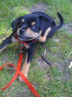 Foto 2 Bildhübscher Chihuahua-Welpe (9 Wochen) abzugeben!