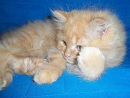 Bildhübscher reinrassiger Perserkater / Kitten (mit Nase) in Red Creme