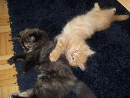 Foto 4 Bildhübscher reinrassiger Perserkater / Kitten (mit Nase) in Red Creme