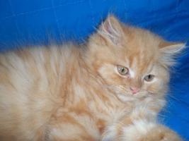 Foto 5 Bildhübscher reinrassiger Perserkater / Kitten (mit Nase) in Red Creme