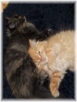 Foto 6 Bildhübscher reinrassiger Perserkater / Kitten (mit Nase) in Red Creme