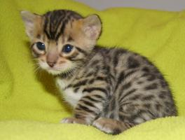 Bildschöne Bengal Kitten mit Papieren!