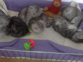 Bildsch�ne British Langhaar-Mix Kitten