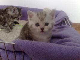 Foto 2 Bildsch�ne British Langhaar-Mix Kitten