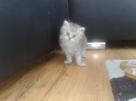 Foto 4 Bildsch�ne British Langhaar-Mix Kitten