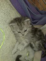 Foto 5 Bildsch�ne British Langhaar-Mix Kitten