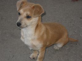 Bildschöne Chihuahua Welpe zvk- KOSTENLOSE LIEFERUNG