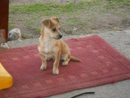 Foto 2 Bildschöne Chihuahua Welpe zvk- KOSTENLOSE LIEFERUNG