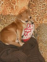 Foto 3 Bildschöne Chihuahua Welpe zvk- KOSTENLOSE LIEFERUNG