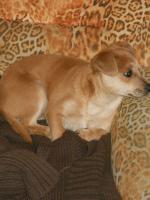 Foto 4 Bildschöne Chihuahua Welpe zvk- KOSTENLOSE LIEFERUNG