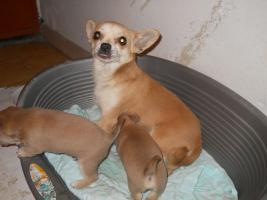 Foto 6 Bildschöne Chihuahua Welpen zvk- KOSTENLOSE LIEFERUNG!