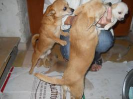 Foto 5 Bildsch�ne Chihuahua Welpen zvk- KOSTENLOSE LIEFERUNG!