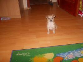 Foto 3 Bildschöne Chihuahua Welpen zvk- KOSTENLOSE LIEFERUNG!