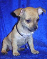 Bildschöne Chihuahua- Welpen